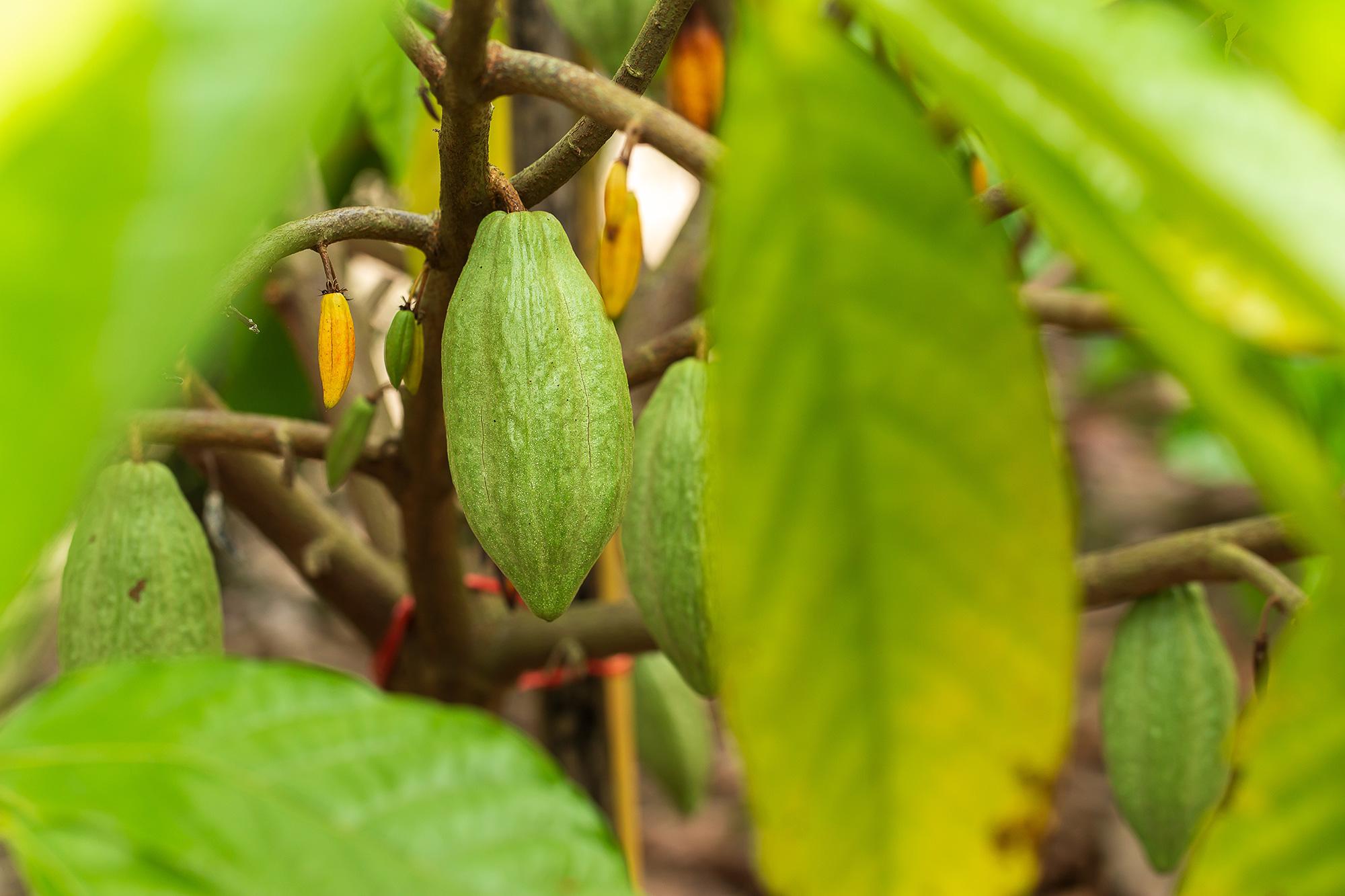 xocolea-plantage